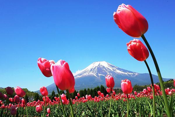 2019年版 富士山と花の絶景 春夏に訪れるべき山梨の花名所5選 観光