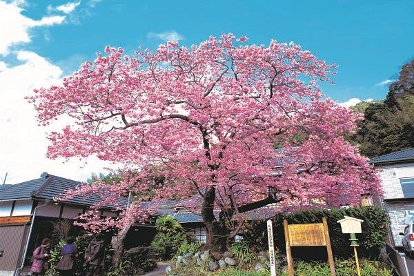 桜 伊豆 河津 河津町の河津桜まつり 伊豆の桜スポット案内