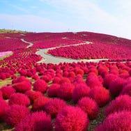 東京&近郊秋天景點:掃帚草、波斯菊、玫瑰等,不只有賞楓!