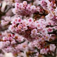 Atami Sakura: Japan's Incredible Early Blooming Cherry Blossoms Near Tokyo!