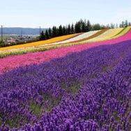 令人向往的富良野薰衣草田,最佳赏花期与六大精选赏花地点