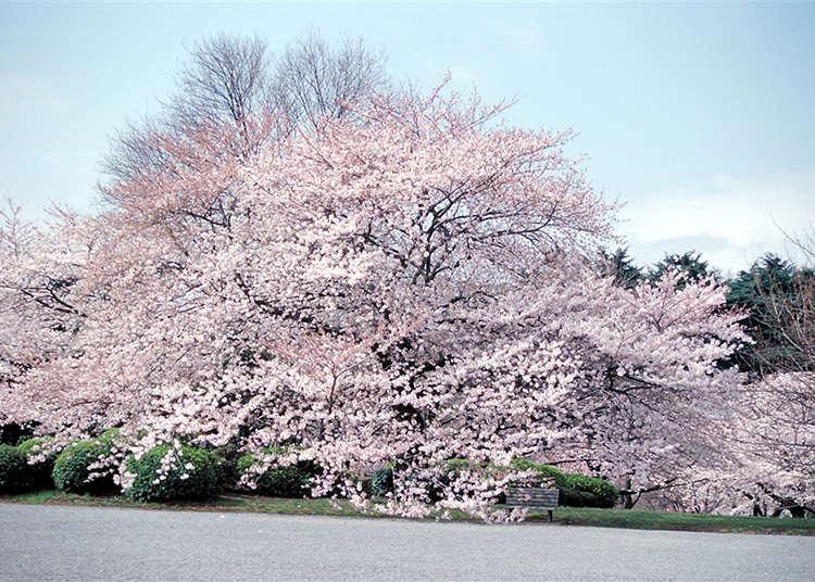 1. 도쿄 벚꽃 명소하면 단연 신주쿠교엔