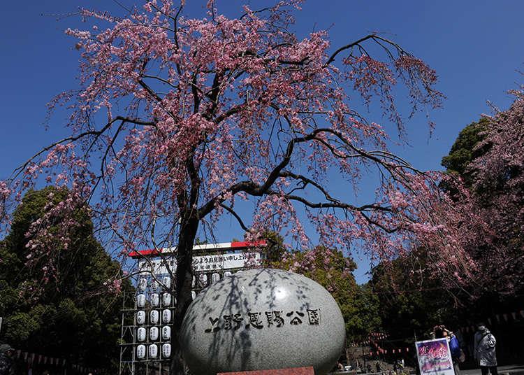 Kenapa Taman Ueno Merupakan Lokasi Sakura yang Terkenal?