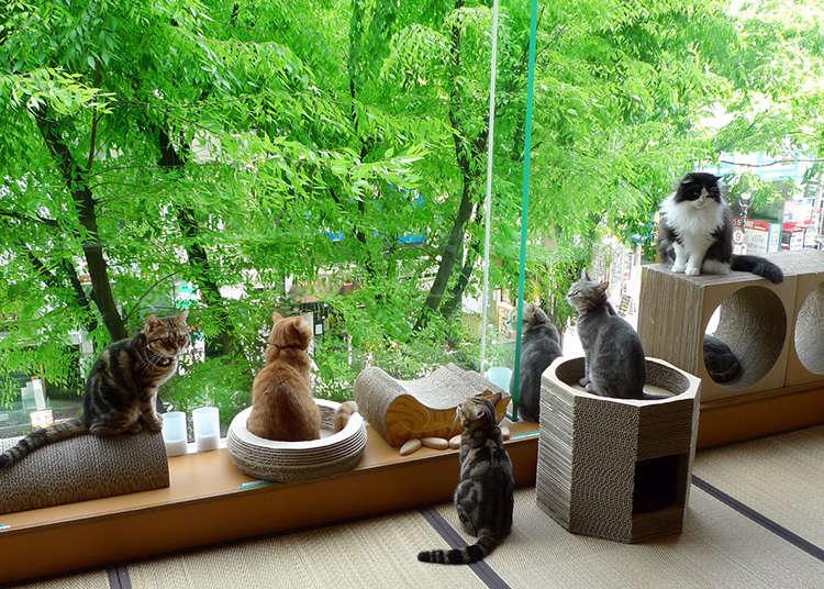 療癒程度120%的咖啡廳「Hapi貓」