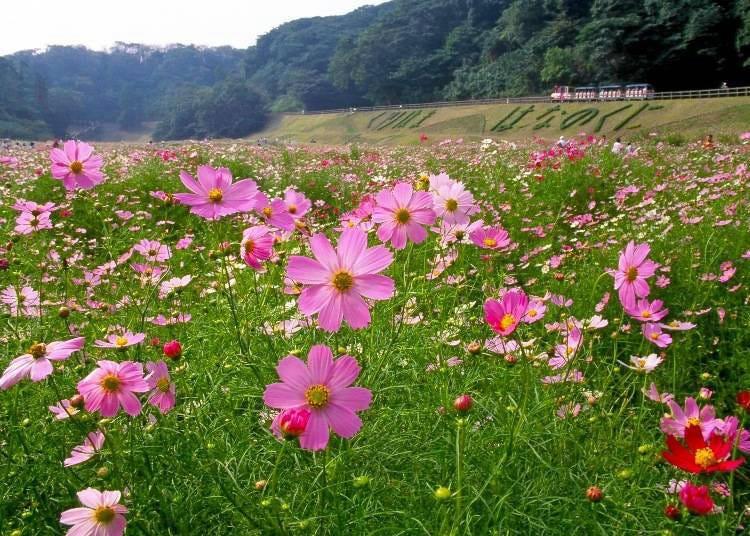 5. Yokosuka Kurihama Flower Park: Home to a million flowers, Godzilla, and more!