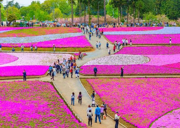 "Terharu dengan karpet bunga merah jambu! Berjalan-jalan di ""Chichibu"" sambil melihat ""shibazakura"" (moss phlox, sejenis bunga bersaiz kecil kira-kira 15cm yang ditanam meliputi kawasan yang luas)"