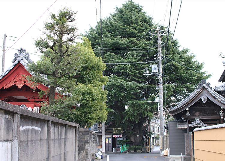 수령이 90년 된 '히말라야삼나무'