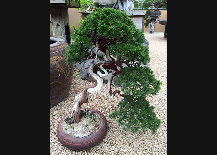 What is a bonsai: Turning a tree into art