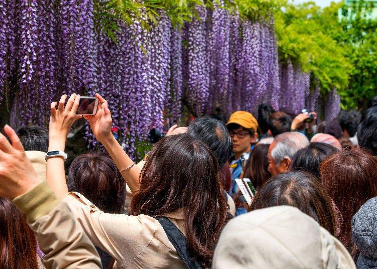 Kameido Tenjin Shrine Fuji (Wisteria) Festival 2019