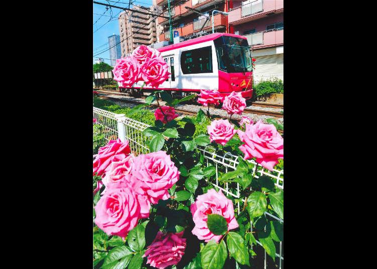봄의 오쓰카 장미 축제
