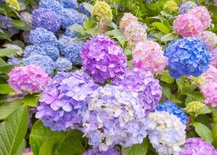 Tokyo Flower Guide: Top 5 Spots to Enjoy Japanese Flowers in June 2020