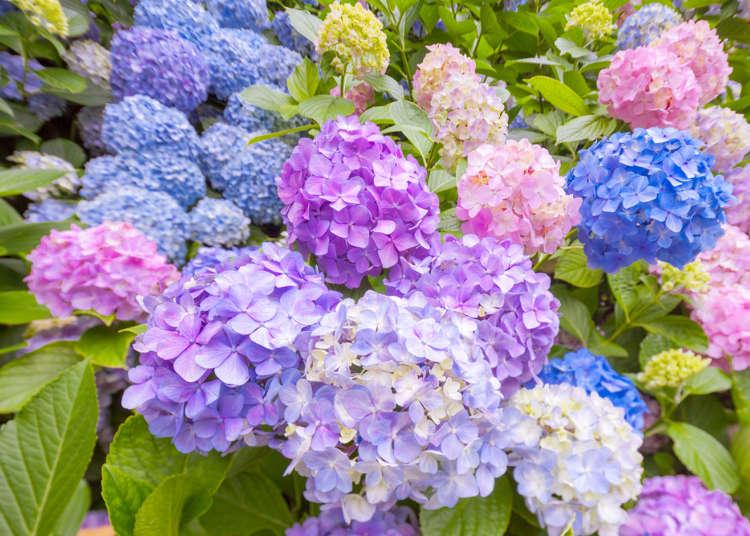 """6月盛开的""""紫阳花""""和""""花菖蒲""""的观赏地点"""