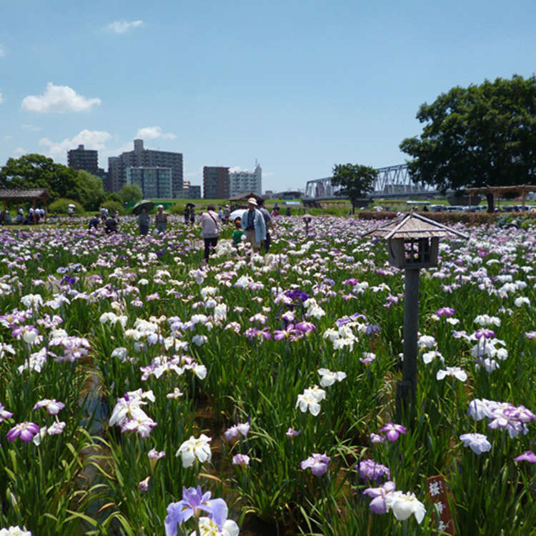 5. Koiwa Iris Garden
