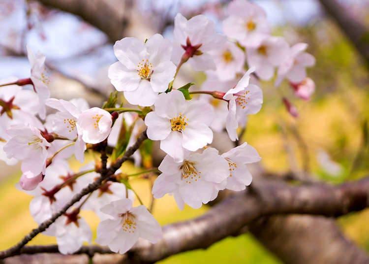 What's it like in Japan's Spring Season?