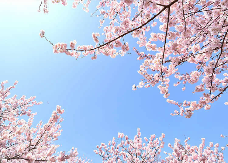 "2. What is Japan's unique forecast - the ""Cherry Blossom Front"" - all about?"