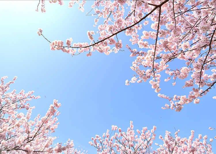 """日本独有的天气预报""""樱花前线""""是什么?"""