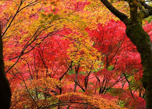 Koyo: Autumn Leaves