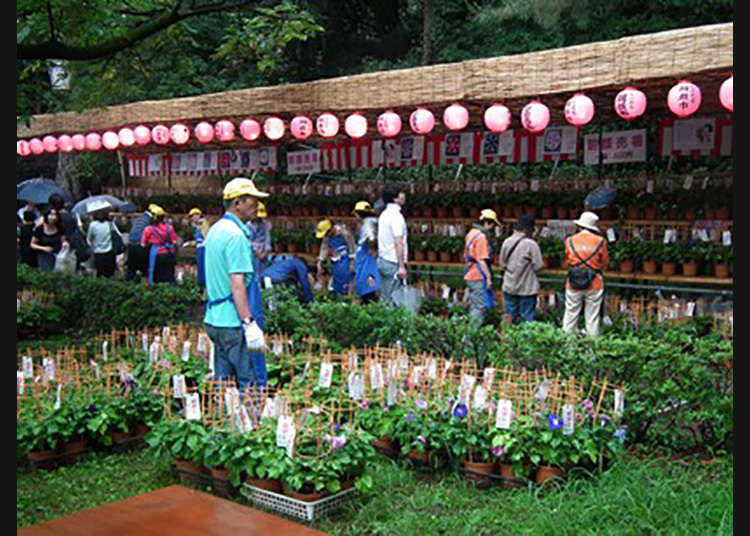 Kunitachi Asagao-Ichi (Festival Bunga Seri Pagi di Kunitachi)