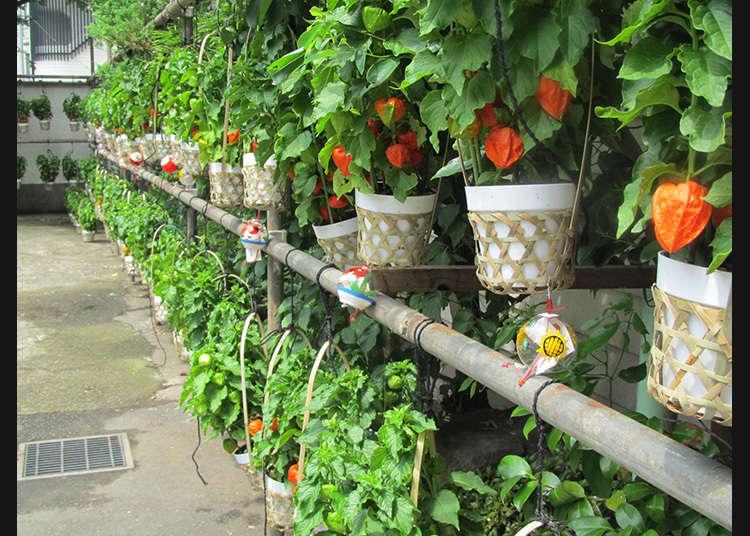 เมืองแห่งต้นโฮซุคิในบุงเคียว