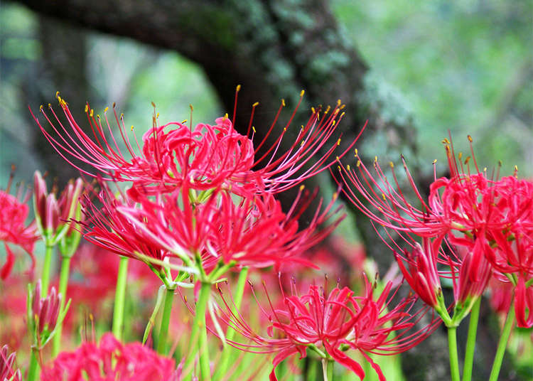 Japanese September Flowers: Discover Tokyo's Top 6 Spots for Cosmos and Amaryllis! (2019)