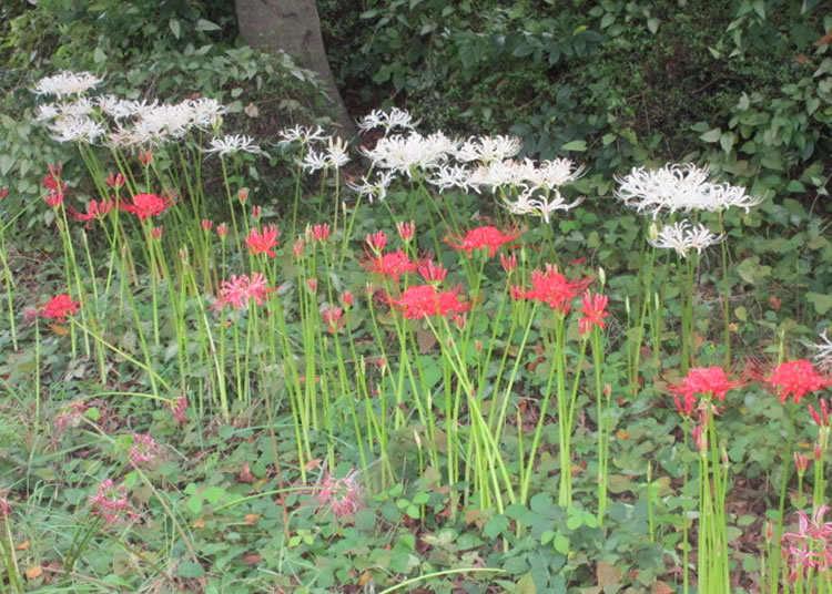 赤色だけでなく白い彼岸花も