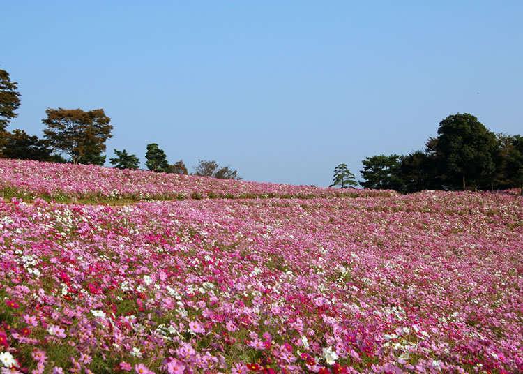 总数约560万株东京都内最大规模的波斯菊花海