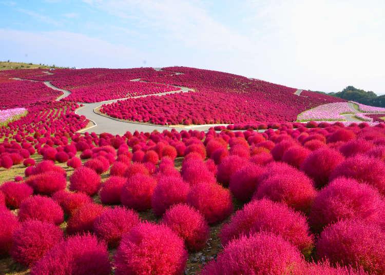 Taman Untuk Menikmati Bunga Mawar Di Musim Gugur Spot Terbaik Melihat Kochia Dan Bunga Kosmos Live Japan Jepang Perjalanan Dan Pariwisata Pemandu