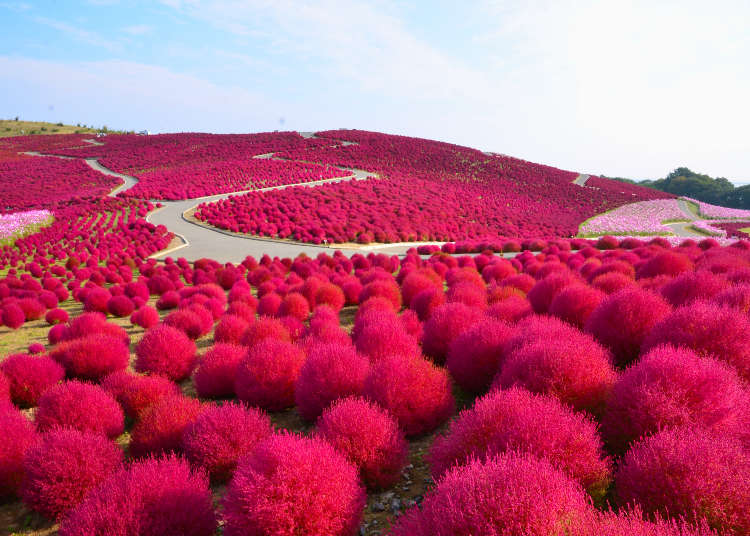 【東京&近郊】秋天除了紅葉還有這些可以賞!紅色地毯掃帚草、波斯菊推薦景點