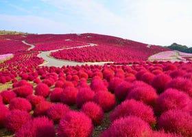 【2021年版】関東で秋バラやコキアの紅葉が楽しめる公園スポット6選