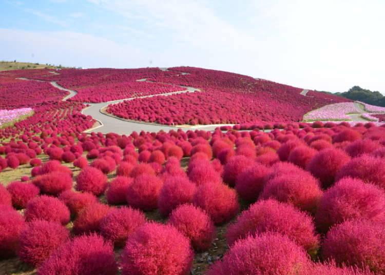 Tempat di mana Kochia Merah dan Bunga Kosmos Cantik Berpadu