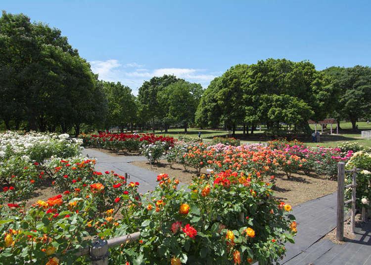 東京秋天景點④「砧公園」中淡紫色藍寶石等240株玫瑰盛開