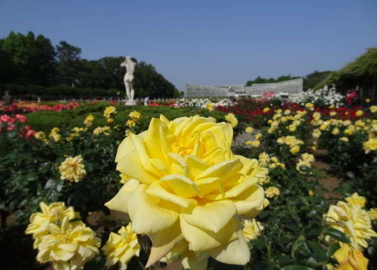 東京秋天景點⑥不論規模和品質均為東京都內一流的玫瑰花景點「神代植物公園」