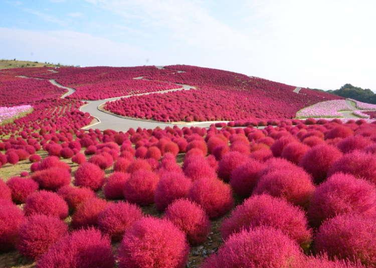 東京秋天景點①「國營日立海濱公園」豔紅掃帚草與可愛波斯菊的競豔