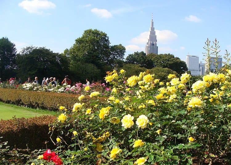 東京秋天景點②「新宿御苑」栽種約100種類500株的玫瑰花