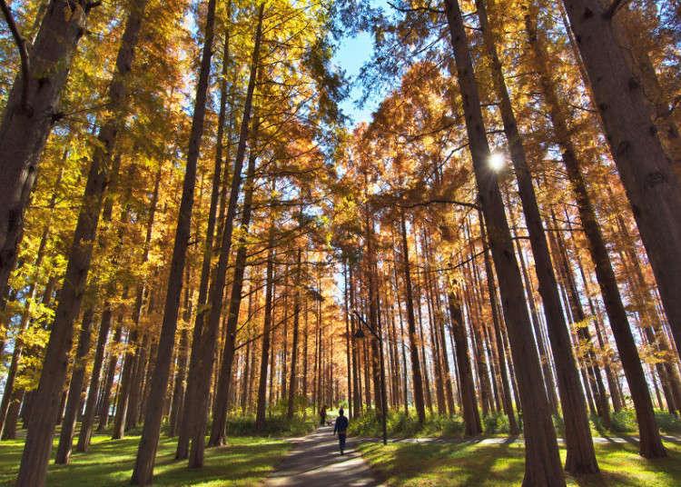 珍しいメタセコイアの紅葉が楽しめる【水元公園】