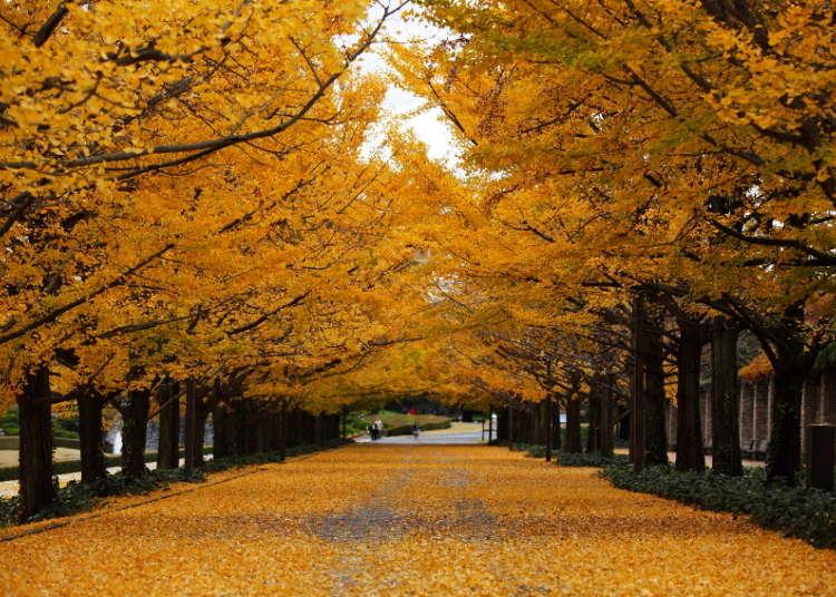 黄色の絨毯が圧巻のイチョウ並木【国営昭和記念公園】