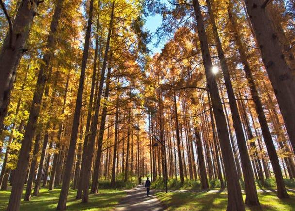 稀有的水杉紅葉「水元公園」