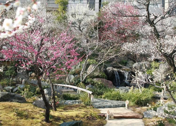 유시마텐진 매화나무 축제