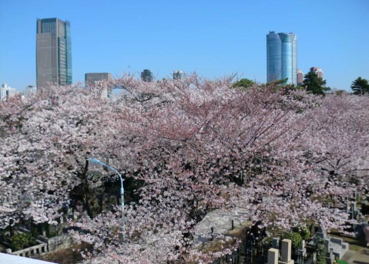 桜の木と墓石
