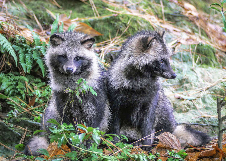 Mythology of the Japanese Tanuki: Legit Shapeshifter or Regular Animal?