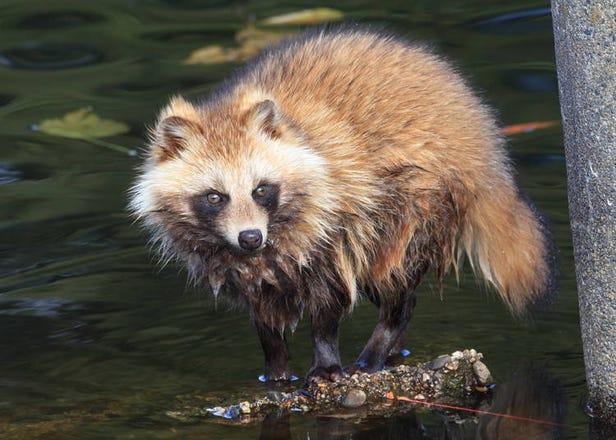 化身作弄人?抑或只是普通的動物?日本的狸貓傳說