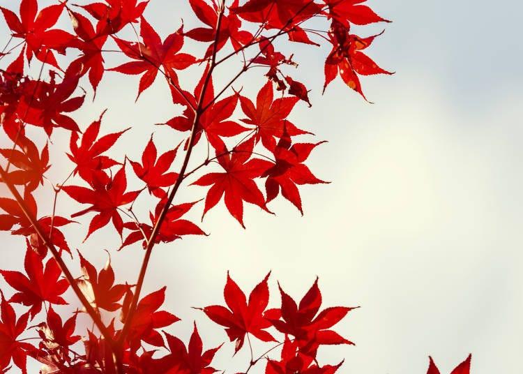 日本的红叶