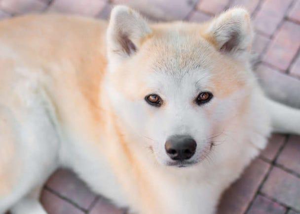 Hachiko: The Legend of Japan's Most Faithful Dog