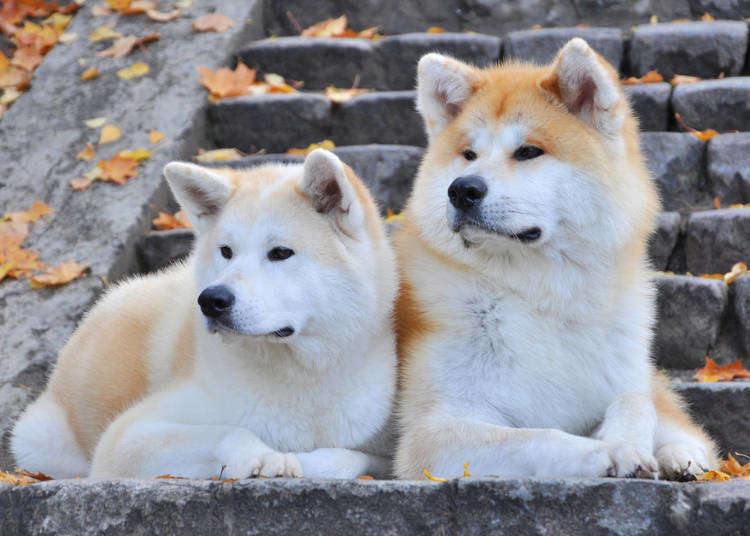 Akita Dogs: The adorable Japanese dog breed that the world cannot help but love!