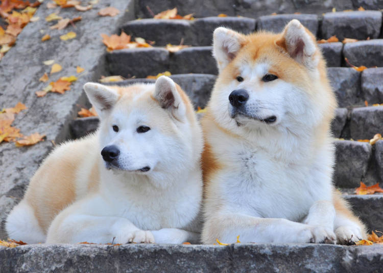 What Kind of Dog is the Akita Inu?