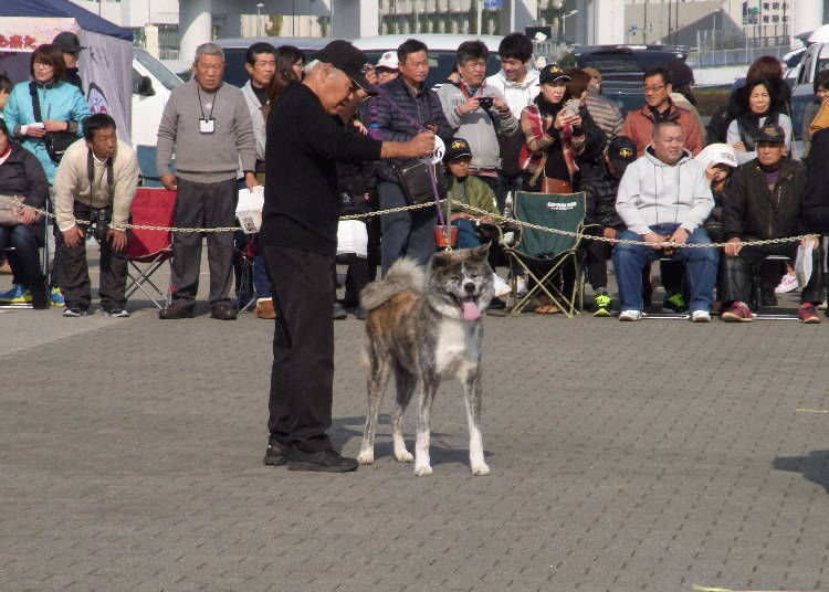 The Seriousness of the National Akita Dog Competition