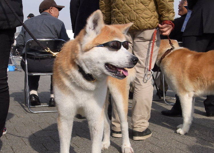 The International Fame of Akita Inu