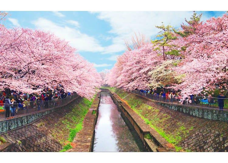 벚꽃 터널이 장관. 도쿄의 서쪽에 있는 숨은 명소.