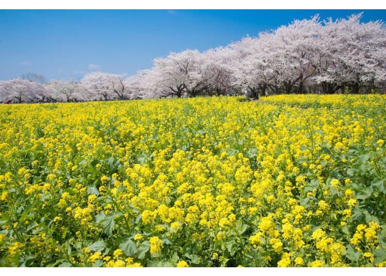 벚꽃과 유채꽃의 콜라보레이션이 볼거리!