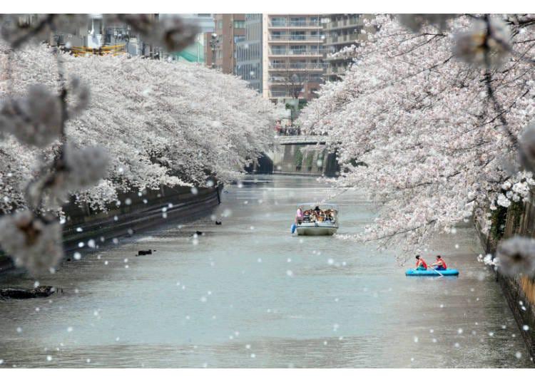 인기 있는 메구로 강(目黒川)의 벚꽃을 물 위의 특등석에서